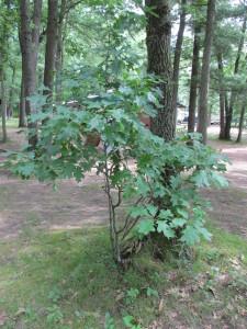Oak Tree Sapling